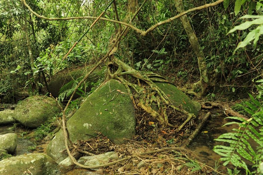 热带雨林现象-根抱石