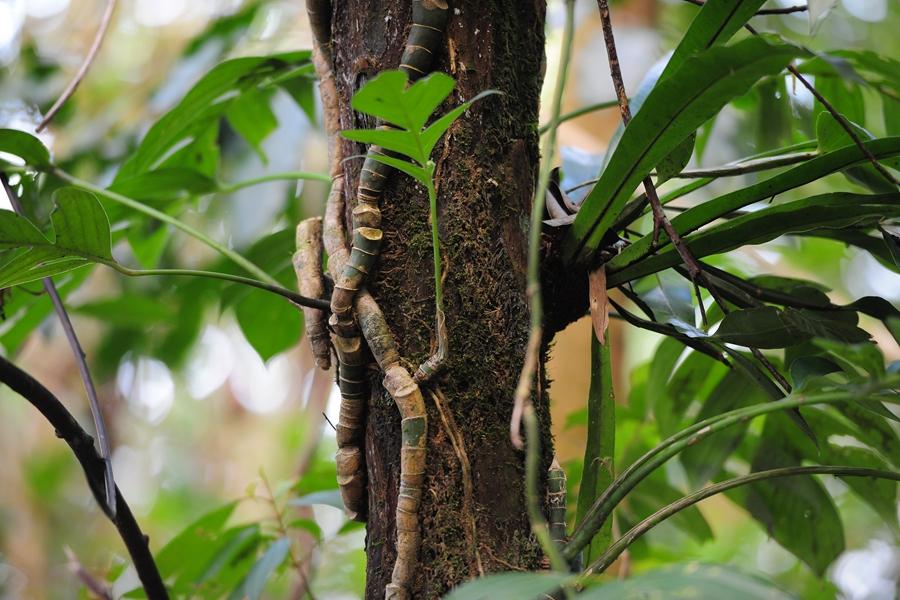 雨林六大奇观之一-藤本攀附