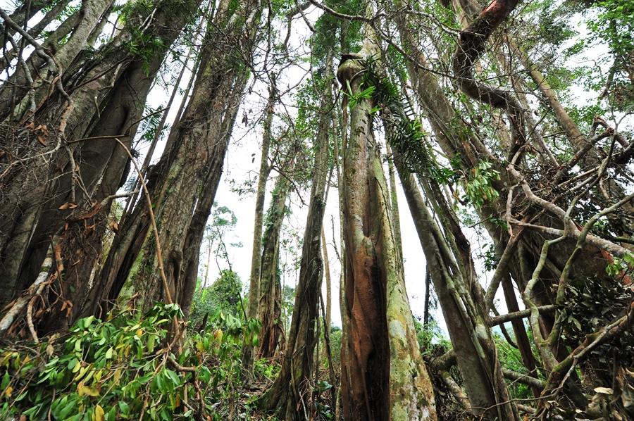 雨林千年古榕