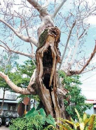 台湾一部落老树被虫蛀似名画《吶喊》(图)