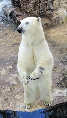 意大利北极熊将亮相日本东京上野动物园