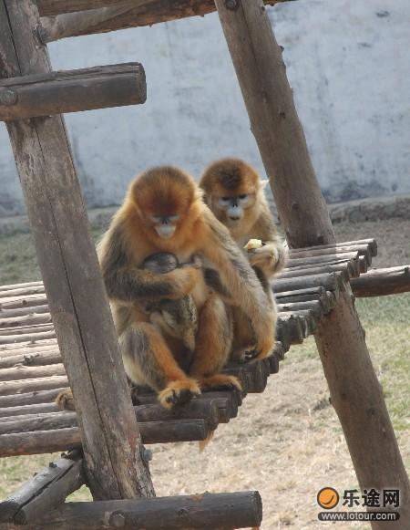 西霞口野生动物园喜得两只金丝猴