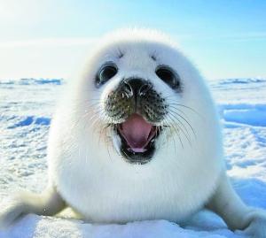 一头竖琴海豹宝宝满面微笑地晒着太阳,时不时在雪地里打几个滚,最后眯图片
