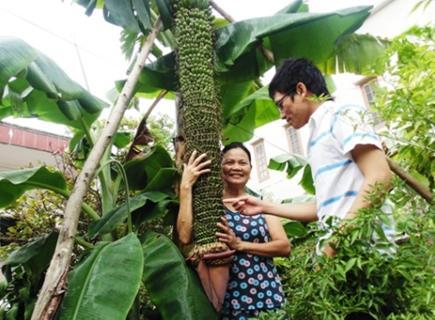 越南发现超级香蕉树 一穗已结出超3000个香蕉(图)