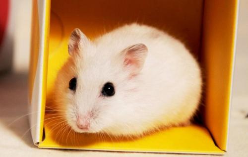 英国研究适性饲养法:仓鼠居住环境越舒适越自信