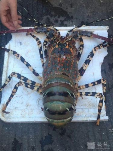 浙江小伙海钓捕获一只超级大龙虾