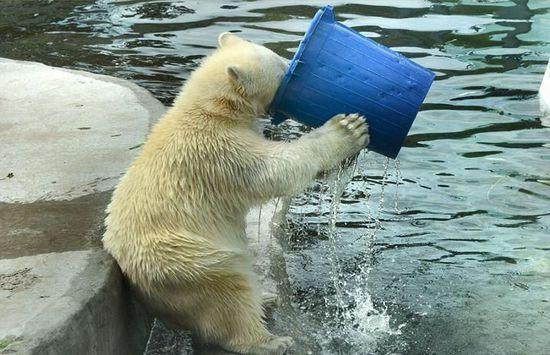 """北极熊:我的大嘴已经饥渴难耐了! 最近,在俄罗斯首都莫斯科的一座动物园内,一只北极熊有些口渴,便拿起一大桶水一饮而尽,样子十分呆萌可爱。 起初,这只北极熊站在水中打水,待水满后,它迅速举起水桶,一饮而尽。之后,它又拿起水桶开始在水中嬉戏玩耍。这些画面被摄影师奥尔加·迪米崔耶娃记录下来。 奥尔加说:""""我十分喜欢北极熊,在动物园给它们拍照是我的一大爱好。"""""""