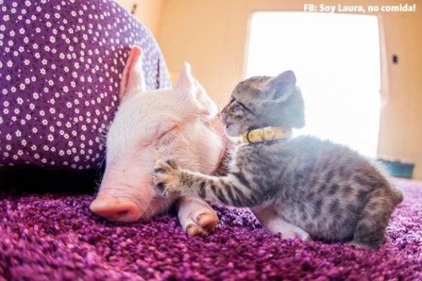 被遗弃的小猪仔和小猫咪 在彼此拥抱中酣眠(图)