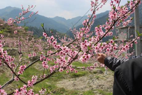 提起桃树,春天开花,夏天结果
