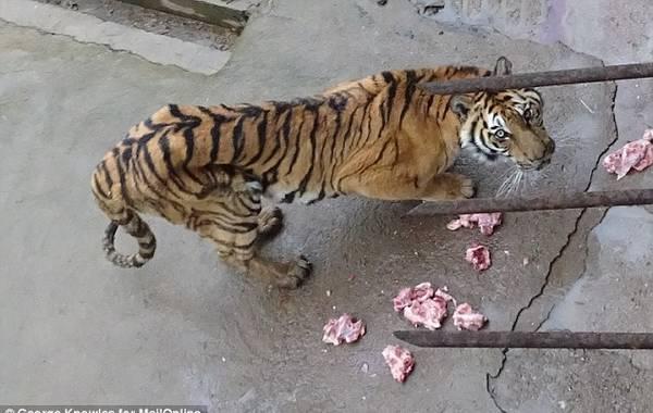 广西一动物园老虎被活活饿死制壮阳酒 骨瘦如柴令人痛心