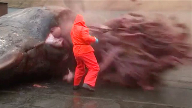 男子解剖香鲸竟发生神奇一幕 抹香鲸爆炸内脏黏质物喷涌而出