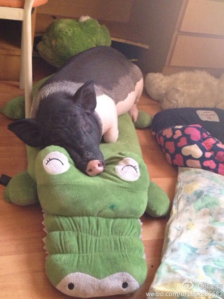 和猪同一被窝睡觉