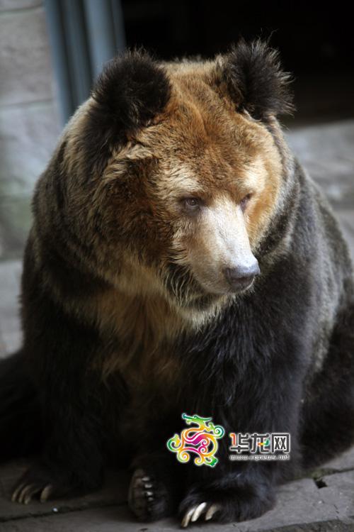 [动物爱情]西藏棕熊: 最怕游客喂吃的 担心老婆吃坏了
