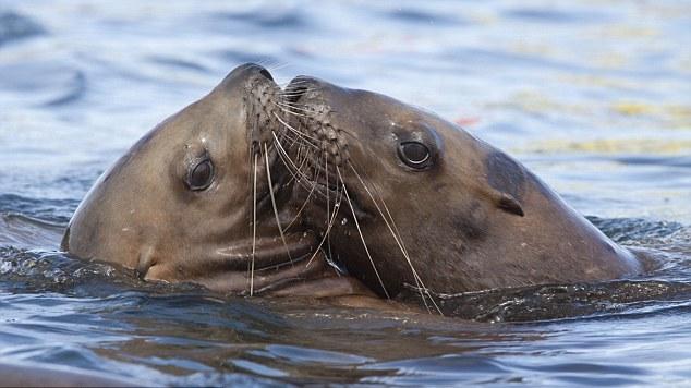 洗鸳鸯浴的海狮 谁说动物没有真爱?为了传递无法阻挡的绵绵爱意,它们会偎依在一起,彼此爱抚,或者干脆来个长吻。动物之爱不仅纯粹浪漫,更能温暖人心。为了迎接情人节,英国媒体2月13日特别刊登了一组主题为爱情之于小动物的图片集锦。看过这些照片,相信你我都会被它们之间的浓情蜜意打动! (来源:中国日报网 梁杉 编辑:刘纯萍)
