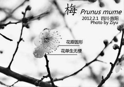 花单生无梗;樱花花瓣顶端有花裂,有花梗;红叶李花单生,有梗,花萼反折