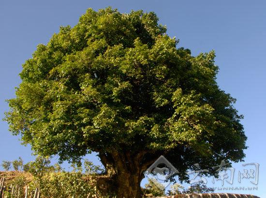 有3200多年树龄的茶祖。
