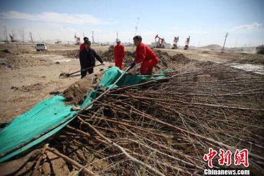新疆油田公司风城油田作业区,石油工人当天种植的树苗. 许云峰 摄