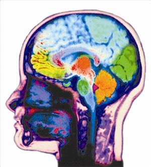 小鼠脑部结构解剖图