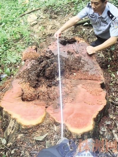 400岁野生红豆杉深夜被砍