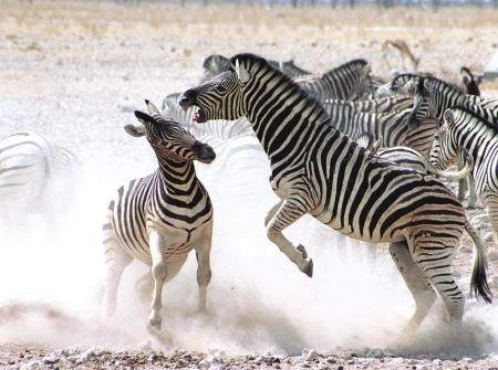 非洲动物保护小报