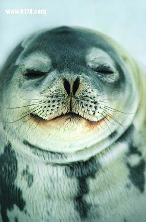 北极的海洋哺乳动物--北极海豹