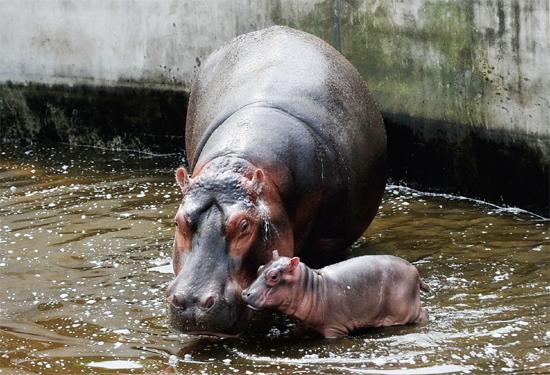 """去年初,合肥野生动物园的河马""""二胖""""产下了一只健康的小河马,这是在"""