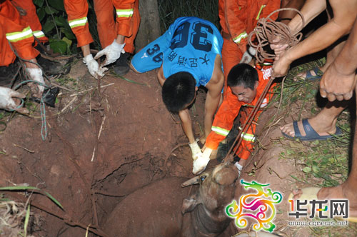 经过当地民警、消防及村民联手努力,大水牛被成功救出 大足消防供图 华龙网发