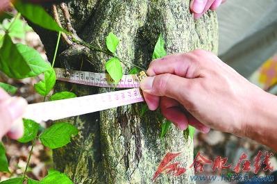 ○紫藤古树的树围达76cm