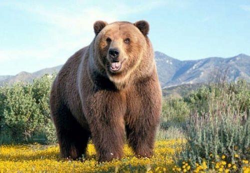 棕熊的体型已经可以匹敌他的北方亲戚北极熊