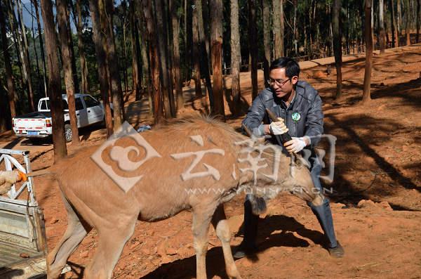云南野生动物园大羚羊搬家 险象环生