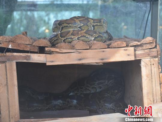 云南省野生动物园收容的蟒蛇。 白拓 摄 中新网昆明11月28日电 (记者 史广林 白拓)27日,云南省野生动物园收容拯救中心收容了一条蟒蛇,这是该中心本月收容的第三条蟒蛇。动物园收容中心主任李有龙介绍,进入深冬,许多动物进入休眠期,野生动物贩卖频繁。他呼吁全体民众行动起来,积极参与支持野生动物保护工作。 11月19日12时许,韩先生提着一个笼子急匆匆的赶到云南野生动物园,他告诉工作人员笼子里的是条蟒蛇。工作人员打开笼子见一条碗口粗的蟒蛇安静的盘在笼子里,不时的吐着信子。办完一系列的收容程序准备把蟒蛇带回