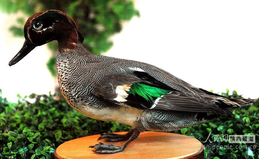 长嘴鹬,纵纹腹小号鸟,赤腹鹰,白冠长毛雉等300多个珍稀野生动物标本.