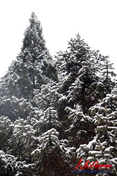 1月20日,被大雪覆盖着的松树.