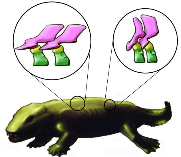 X射线显示出鱼石螈的骨架结构。 该项研究的负责人斯蒂芬妮皮尔斯博士介绍说,上述结果推翻了目前科学界对四足动物骨架结构的公认看法。100多年以来,业界已形成了一套对早期四足动物的脊椎骨构成方式的理论,但是我们所得到的3D图像显示这一理论实际上是不正确的,我们的研究成果将迫使我们对教科书中关于脊椎动物骨架进化的知识和理论进行重新编写。 此外,研究人员还发现了鱼石螈的一种新的骨架特征。这种古老的动物有一组骨头一直延伸至胸部中间,这可能是四足陆生动物的胸骨首次进行进化时的迹象。研究结果显示,这应该是鱼石螈