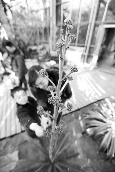 """""""武汉植物园植物学博士楚海家介绍,大部分龙舌兰开花即死,其花语是""""为"""