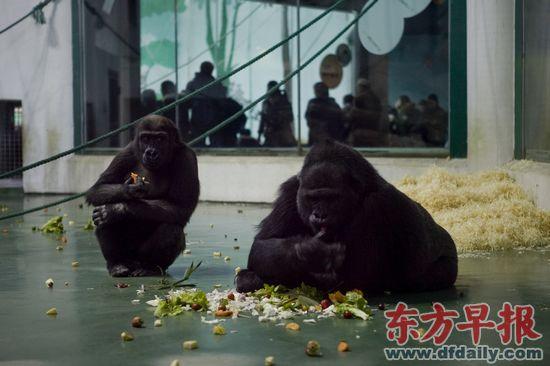 高了、壮了、饭量长了……昨日,在上海动物园大猩猩馆内,紧跟在姨妈昆塔身后的海贝已经初显成年大猩猩的身形,在5岁生日这一天,海贝和姨妈一起分享了生日蛋糕。据介绍,海贝现在比较调皮,身体发育很正常,体重已经有30多公斤了,饭量也增加了,每天要吃3.5公斤的饲料。 据了解,在2008年出生的海贝,是第二只在中国出生的大猩猩。 余梦 文 孙湛 图 录入编辑:周子静