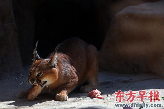 狐狼,狞猫入住上海动物园