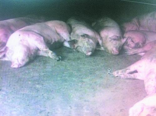 """Agriculteurs porcs domestiques sont morts src = """"http://y1.ifengimg.com/news_spider/dci_2013/04/b1da356a3d64eb704038be1285deb31e.jpg"""""""