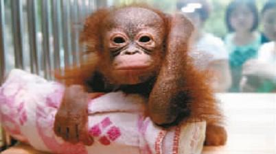 微博@重庆动物园给红猩猩宝宝取个名图片