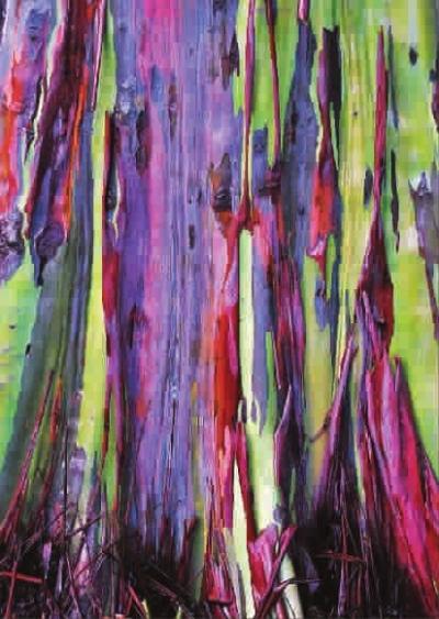 彩虹桉树树皮色彩浓郁