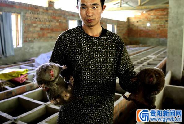 贵州村民饲养竹鼠一公斤卖价百余元