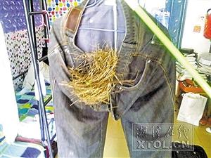 """深圳晚报讯据《湘潭晚报》报道,""""室友的裤子变鸟窝了,这鸟太会找地方了吧。""""5月12日,在湖南工程学院读书的杨康发了这样一条微博,并附上了一张用手机拍摄的图片。"""
