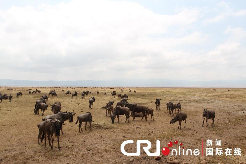 正在大迁徙的角马是恩戈罗恩戈; 壮美的动物世界-坦桑尼亚恩戈罗恩戈