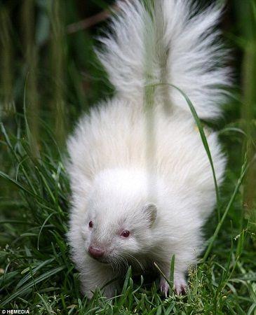 臭鼬通体患白化病眼睛雪白方式红红似小白兔(图)宝宝机动红狼7合成战队图片