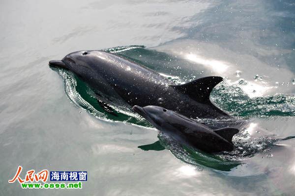 海南分界洲岛海豚妈妈再次成功孕育小宝宝