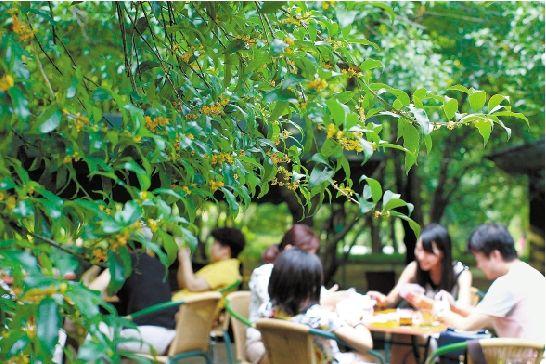 """9月14日,连日来的""""桂花蒸""""天气催开了杭州植物园的桂花,杭州黄,晚馨"""