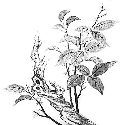 手绘桂花矢量图