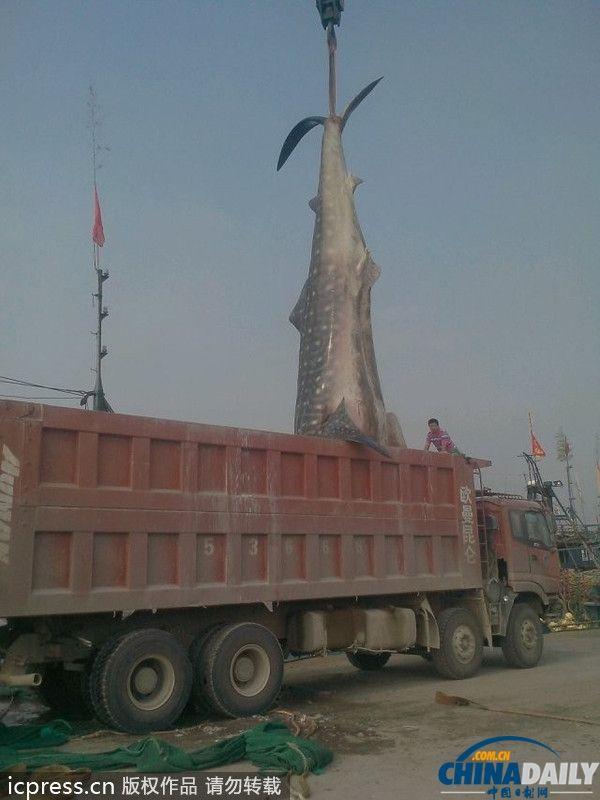 2013年9月8日,山东日照市岚山区一渔民从海上拉回一条已经死亡的鲨鱼。该鲨鱼长10米多,重达两万多斤,用吊车将其吊至长货车。张磊/东方IC