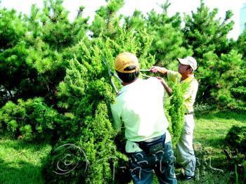 绿化树修剪造型技术