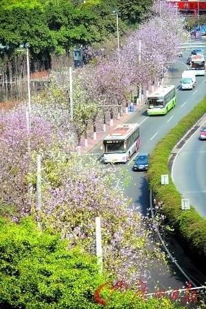 马路两旁紫荆花盛开(资料图片)